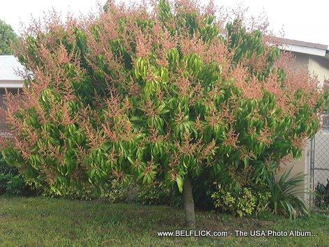 Mango Tree In Miramar Florida