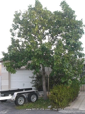 Mango Tree In Miramar Florida