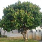 Mango Tree Miramar Florida