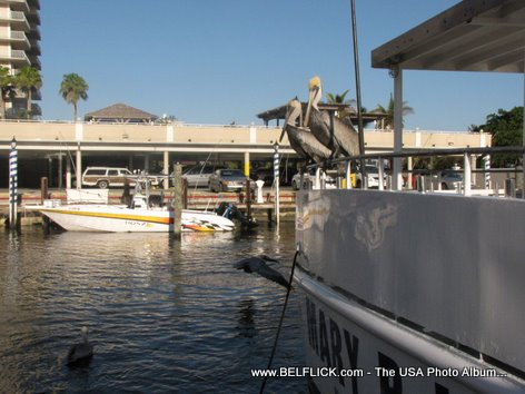 Brown Pelicans Ft Lauderdale Florida