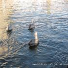 Brown Pelicans Ft Lauderdale